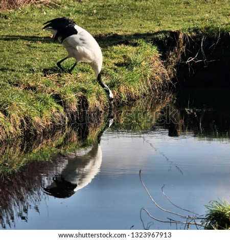 A picture of a Red Crowned Crane with reflection #1323967913