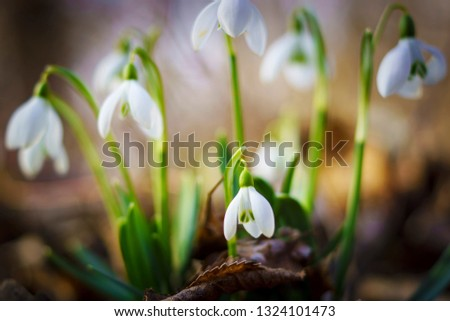 Snowdrops in the depths of the forest #1324101473