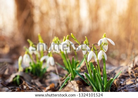 Snowdrops in the depths of the forest #1324101524