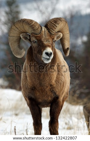 A wild bighorn sheep showing off his impressive horns #132422807