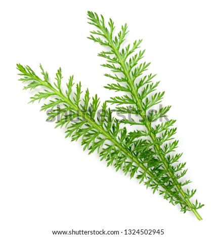 fresh yarrow leaves isolated on white background, top view #1324502945