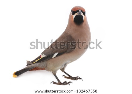 Bohemian Waxwing on a white background #132467558