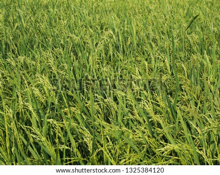 green ear of rice in the rice field. #1325384120