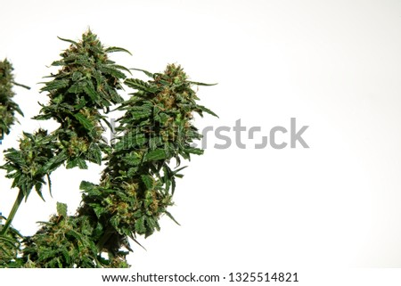 Top buds of green mature cannabis female plant without leaves cut off on white background with copy space on right. #1325514821