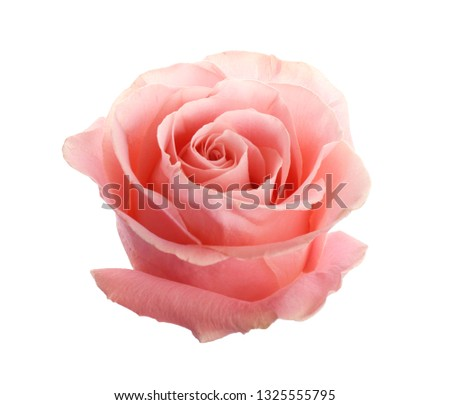 Beautiful pink rose on white background. Perfect gift #1325555795