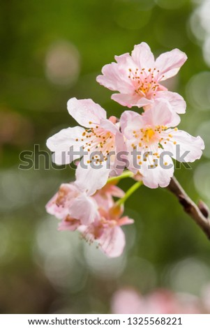 Beautiful nature scene with pink sakura flowers, beautiful Cherry Blossom in nature with green blurry background , Easter Sunny day. #1325568221