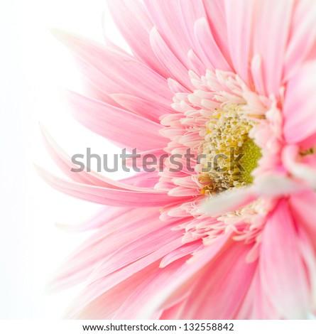 pink daisy flower #132558842