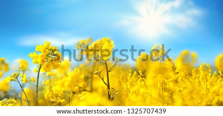 Rape flowers close-up against a blue sky with clouds in rays of sunlight on nature in spring, panoramic view. Growing blossoming rape, soft focus, copy space. #1325707439