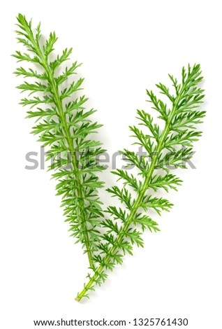 fresh yarrow leaves isolated on white background, top view #1325761430