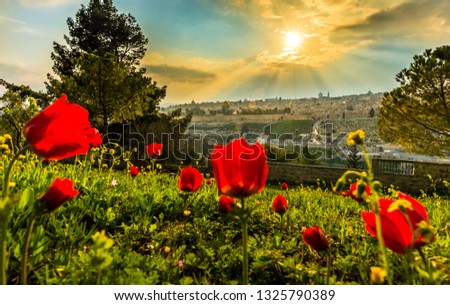 Sun shining over the Old City of Jerusalem: Temple Mount with Dome of the Rock and St. Stephen/Lions Gate; view from the Mount of Olives with calanit - red anemone flowers, national flower of Israel #1325790389