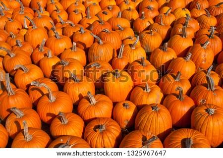 pumpkins harvest Maine #1325967647