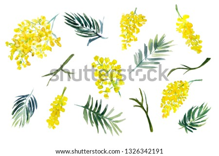 Beautiful mimosa clip art. Yellow flowers, green brunches and leaves. Subtropical spring blossom. Watercolor illustration. Elements isolated on white background.