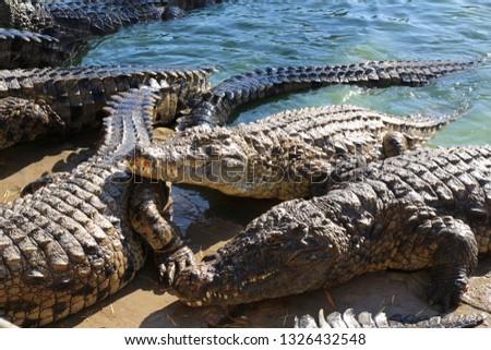 Crocodiles bask in the sun, lie on the sand, eat and frolic. Crocodile Farm. Breeding crocodiles. Crocodile sharp teeth. #1326432548