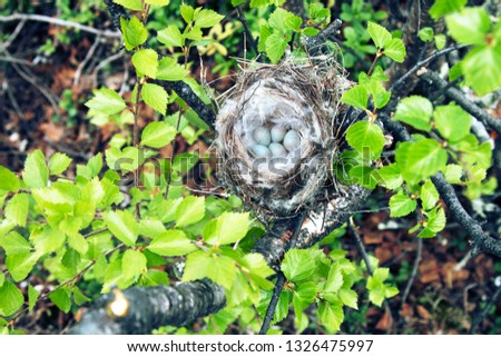 Birds nests guide. Cozy Arctic redpoll (Acanthis hornemanni) white nest in birch tree among the scale lichen. The nesting hollow is lined with partridge feathers. Lapland #1326475997