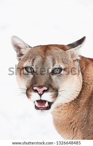 Portrait mountain lion, puma, cougar on the white background wildlife