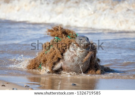 Plastic pollution and animal harm. Seal caught in fishing net. Beautiful marine mammal trapped by choking discarded fishing gear tangled around the neck. Animal distress and suffering. Seal was freed! Royalty-Free Stock Photo #1326719585