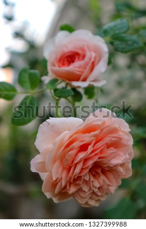 Organic rose in my garden. #1327399988