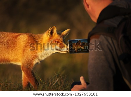 Photographer taking picture of a red fox with a smart phone.