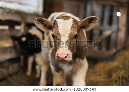 A cute calf stands in a wooden shed in the village and looks into the lens. A cow stands inside a ranch next to hay and other calves. #1328389643