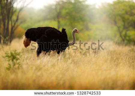 Common ostrich, Struthio camelus, big bird feeding green grass in savannah, Namibia, South Africa. Ostrich in nature habitat, wildlife Africa. Bird with long neck and small head.  #1328742533