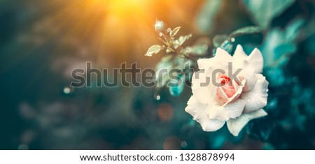 Beautiful Rose blooming in summer garden. Roses flowers growing outdoors, nature, blossoming flower art design. Beautiful bud of pastel color rose close-up. Nature scene. Gardening concept Wide screen #1328878994