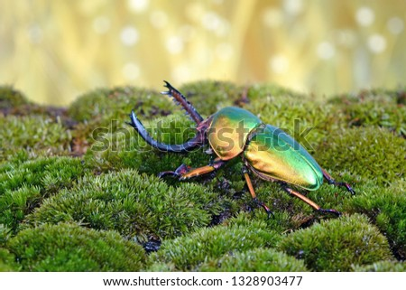 Beetle : Sawtooth beetles (Lamprima adolphinae) or Stag beetles, one of world's most beautiful beetle.  #1328903477