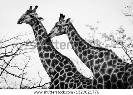 Black and white giraffes #1329021776