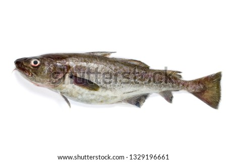 Pacific cod on white background