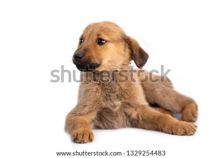 Closeup of cute light brown puppy lying isolated on white background #1329254483