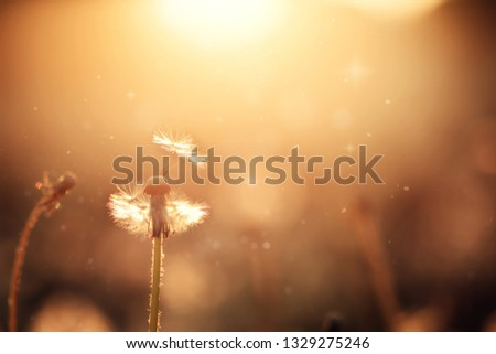Fluffy dandelions glow in the rays of sunlight at sunset in nature field. Beautiful dandelion flowers in spring meadow. Soft focus. #1329275246