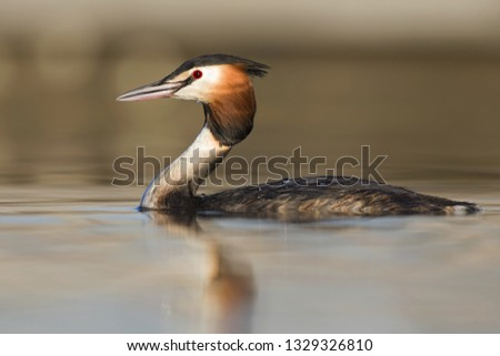 A great crested grebe (Podiceps cristatus)  swimming and foraging in a pond in the city Utrecht the Netherlands. #1329326810