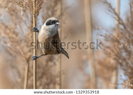 remiz pendulinus pendulum bird on reed #1329353918