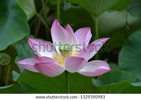 Lotus close up,Pink water lily, isolated background   #1329390983