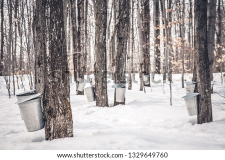 Maple syrup production in Quebec. Pails used to collect sap from maple trees in spring. Royalty-Free Stock Photo #1329649760