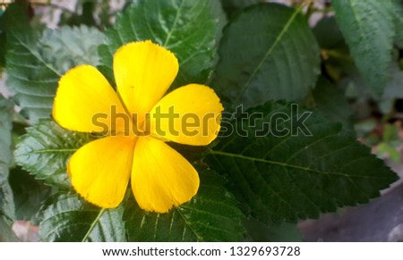 yellow flower of Sage Rose or West Indian Holly #1329693728