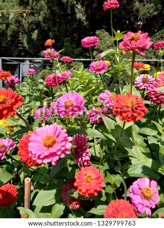 Zinnia in Chiang Mai Province of Thailand. #1329799763