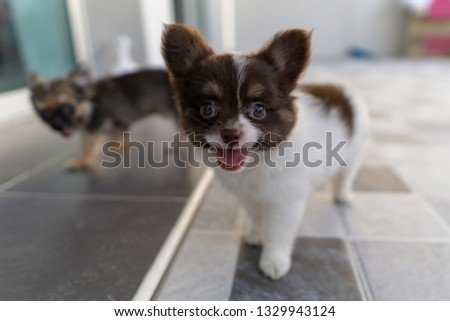 puppy chihuahua is standing and happy smiley. #1329943124