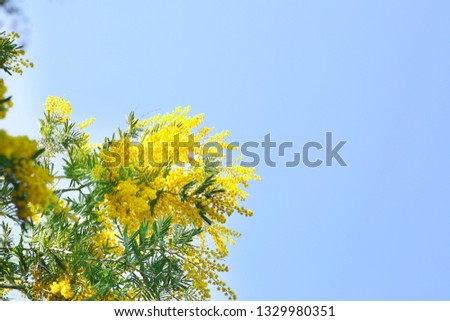 blooming acacia tree in spring sunny day #1329980351