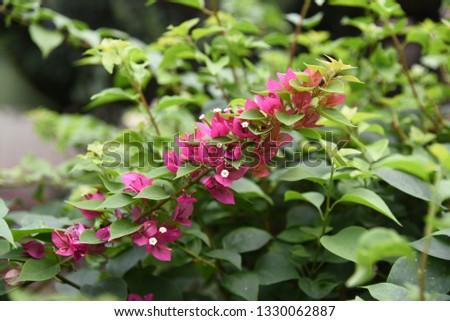 Bougainvillea flowers on green trees  #1330062887