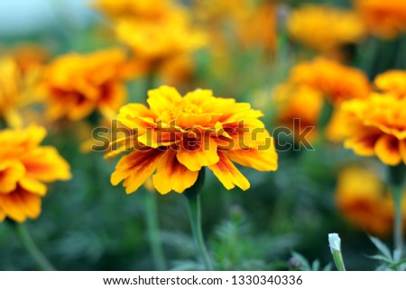 Marigold Flower, Orange and Yellow Marigold Heads #1330340336