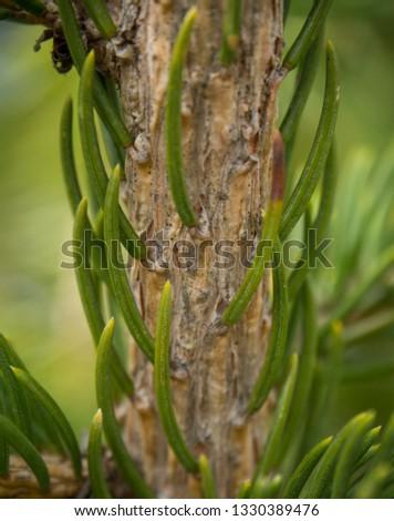 pine needle macro #1330389476