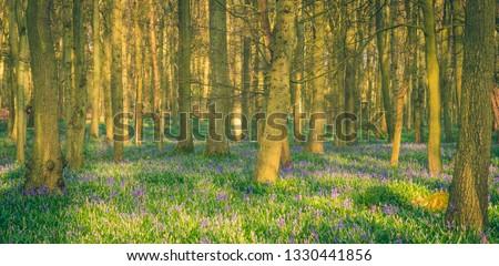 Sunlight through a forest of bluebells #1330441856