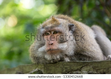 Monkey boss and lies resting on the stone in Ubud forest, Bali. #1330452668