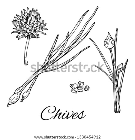 Ink Garlic Chives hand drawn set. Leaves, sliced pieces and flower. Retro botanical line art. Medical herb and spice. Vintage raw chives. Herbal vector illustration isolated on white background #1330454912