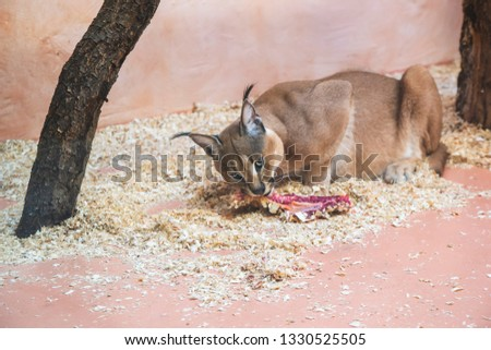 Close up picture of bobcat in brown shade with black nose and ears who eating piece of meat for dinner on red orange background and trees in the zoo as wildlife animal wallpaper concept
