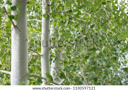 Green foliage and white trunks of quaking aspen trees Royalty-Free Stock Photo #1330597121