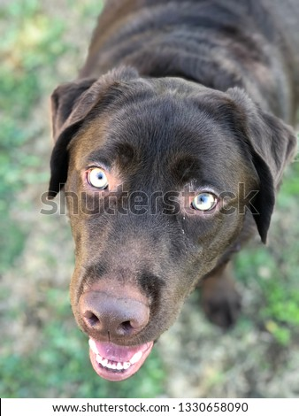 Chocolate lab with green eyes #1330658090