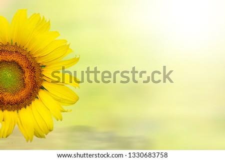 sunflower on yellow background #1330683758