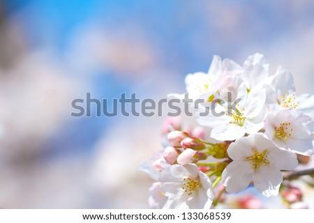 Cherry blossom #133068539