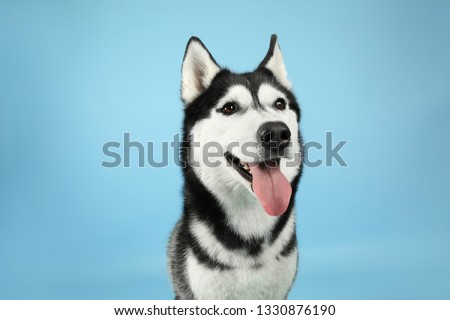 Adorable husky dog on color background #1330876190